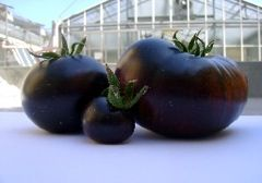 Italian scientists develop black tomato