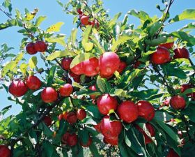 USDA forecasts NZ topfruit rise
