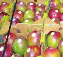 Mango woes persist for Mexican suppliers