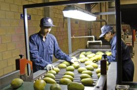 Tough season for Pakistani mangoes