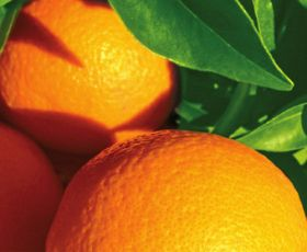 Dongfang expands citrus orchards