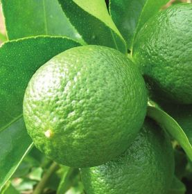 Mexican lime sector begins social initiative