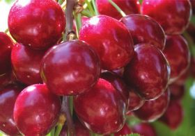 NW cherries shipping above average