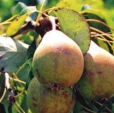 Rocha pears on the rebound