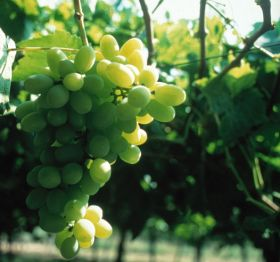 Chile suffers from poor grape season