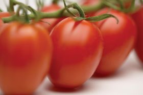 India develops GM tomato