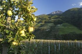 Apple trees hit by hail in Trentino, Italy