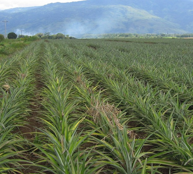 Cr Pineapple Yields Improve
