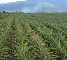 Philippine pineapple exports increase