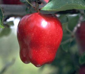 Indonesia halves WA apple imports