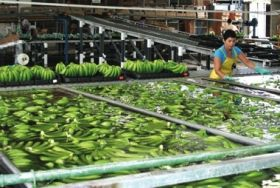 Banana sector hit by recession