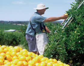 Rising costs squeeze Australian citrus