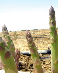 Peruvian asparagus set to make gains in US