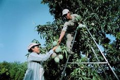 Mangoes move up ladder