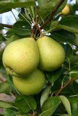 Prevar unveils new pears