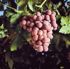 Aussie wineries eye up table grape industry