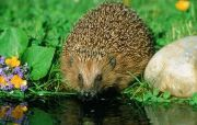 Hedgehog at Pond Side