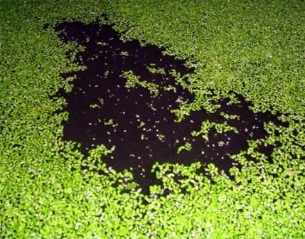 String algae control oase pond water treatments for Garden pool duckweed