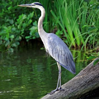 Pond guard shuffle heron cat deterrents for Garden pond guards