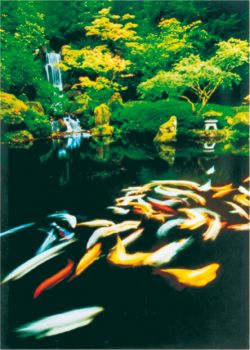 Koi Artwork - Japanese Pond on Canvas