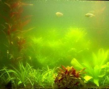 Koi Pond Algae control - 25g treats 70,000L